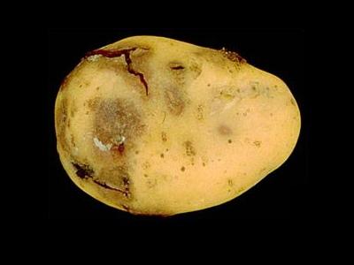 krompir-bolest-a34