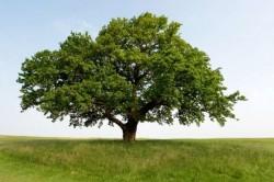 drvo usamljeno