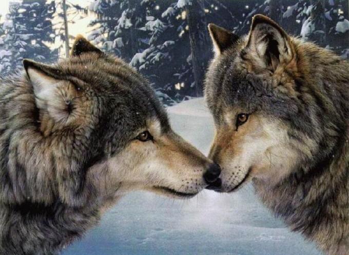 prica-o-dva-vuka