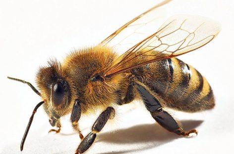 Zanimljivosti: 15 zanimljivih činjenica o pčelama